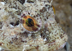 Long spined scorpion fish. Menai straits. D200, 60mm. by Derek Haslam 